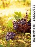 Grapes Harvest. Autumn Nature...