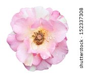 beautiful pink rose isolated on ... | Shutterstock . vector #152337308