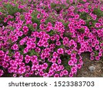 Shocking Pink Flowers On The...