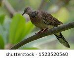 Spotted Dove   Streptopelia ...