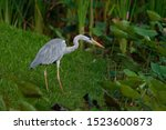The grey heron (Ardea cinerea) is a long-legged predatory wading bird of the heron family, Ardeidae, native throughout temperate Europe and Asia and also parts of Africa. In the rain