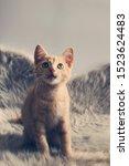 Stock photo young ginger kitten portrait european shorthair kitten close up this kitten is standing on a 1523624483