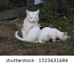 Stock photo a white village cat with multi colored eyes on the grass of a village street surrounded by four 1523631686