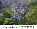 Wild Blue  Purple Flower Also...