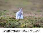 Stock photo mountain hare at the change of season it autumn and the mountain hares are changing colour from 1523793620