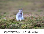 Stock photo mountain hare at the change of season it autumn and the mountain hares are changing colour from 1523793623