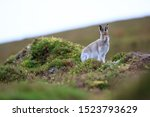 Stock photo mountain hare at the change of season it autumn and the mountain hares are changing colour from 1523793629