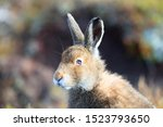 Stock photo mountain hare at the change of season it autumn and the mountain hares are changing colour from 1523793650