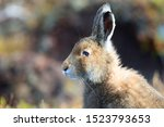 Stock photo mountain hare at the change of season it autumn and the mountain hares are changing colour from 1523793653