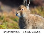 Stock photo mountain hare at the change of season it autumn and the mountain hares are changing colour from 1523793656