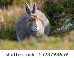 Stock photo mountain hare at the change of season it autumn and the mountain hares are changing colour from 1523793659