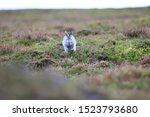 Stock photo mountain hare at the change of season it autumn and the mountain hares are changing colour from 1523793680