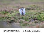 Stock photo mountain hare at the change of season it autumn and the mountain hares are changing colour from 1523793683