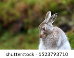 Stock photo mountain hare at the change of season it autumn and the mountain hares are changing colour from 1523793710
