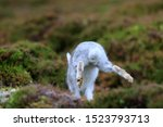 Stock photo mountain hare at the change of season it autumn and the mountain hares are changing colour from 1523793713