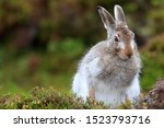 Stock photo mountain hare at the change of season it autumn and the mountain hares are changing colour from 1523793716