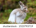 Stock photo mountain hare at the change of season it autumn and the mountain hares are changing colour from 1523793719