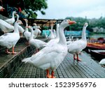 The Chinese Goose Is A Breed O...
