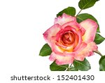 A Beautiful Two Tone Pink Rose...