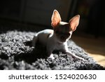 Stock photo silhouette of a chihuahua puppy chihuahua puppy resting on the carpet and basking in the sun 1524020630