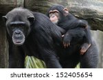 A Wildlife Shot Of Chimpanzees...