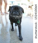 a pug looking at the camera on a pool deck - stock photo