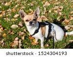 Stock photo cute white and beige chihuahua dog 1524304193