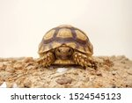 Stock photo  close up baby african spurred tortoise resting in the garden slow life africa spurred tortoise 1524545123