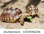 Stock photo  close up baby african spurred tortoise resting in the garden slow life africa spurred tortoise 1524546236