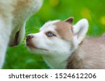 Cute Siberian Husky Puppy And...