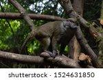 Allen's Swamp Monkey From...