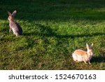 Stock photo two rabbits graze in the meadow one rabbit is sitting in the green grass and the other rabbit is 1524670163