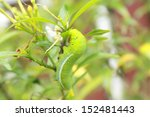 a giant silk butterfly or moth... | Shutterstock . vector #152481443