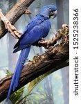 Profile Of The Hyacinth Macaw ...
