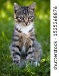 Stock photo gray brown striped kitten with a white breast on a green grass background little cute kitten 1525268876