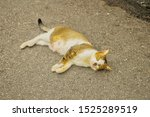 Stock photo beautiful homeless female cat lay down on road which had breast nipple swelling because mammary 1525289519