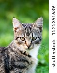 Stock photo gray brown striped cat on a green grass background little cute kitten pet walks in the yard home 1525391639
