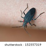 Black Soapberry Bug ...