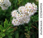 Small photo of Macro photo nature plant Spiraea. Stock photo blooming white Spiraea flower