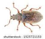 Phyllobius pyri  known as the...