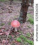 Amanite Muscaria Found In A...