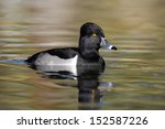 Ring Necked Duck  Aythya...