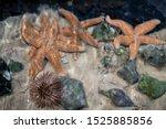 Starfish  Sea Urchins  And...