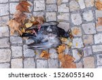 Death pigon lay down on sidwalk with some leaves