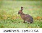 Snowshoe Hare (Lepus americanus) in summer coat, Cherry Hill, Nova Scotia, Canada
