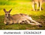 A Kangaroo At Australian...