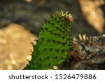 Young Twig Of Cactus Plant ...