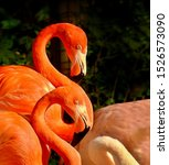 Pink Flamingo In Symbiosis With ...