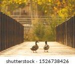 Duck Couple Walking Through...