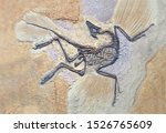 Archaeopteryx Fossils. Archaeopteryx lithographica, Sinosauropteryx is the first dinosaurto be found with a feather, living in the early Cretaceous China